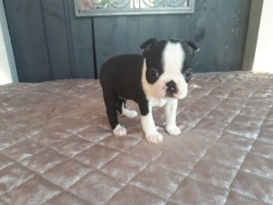 Kvinnelig Fransk Bulldog valp til salg